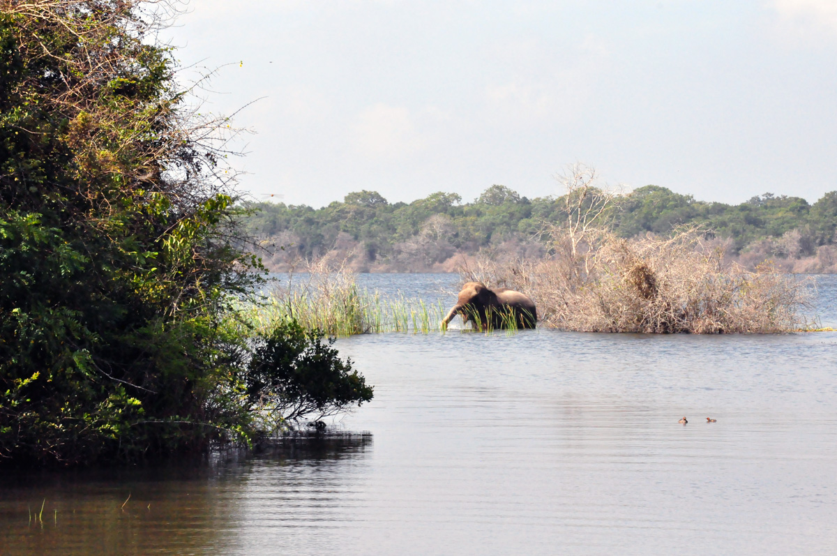 Elephant in Wilpattu national park